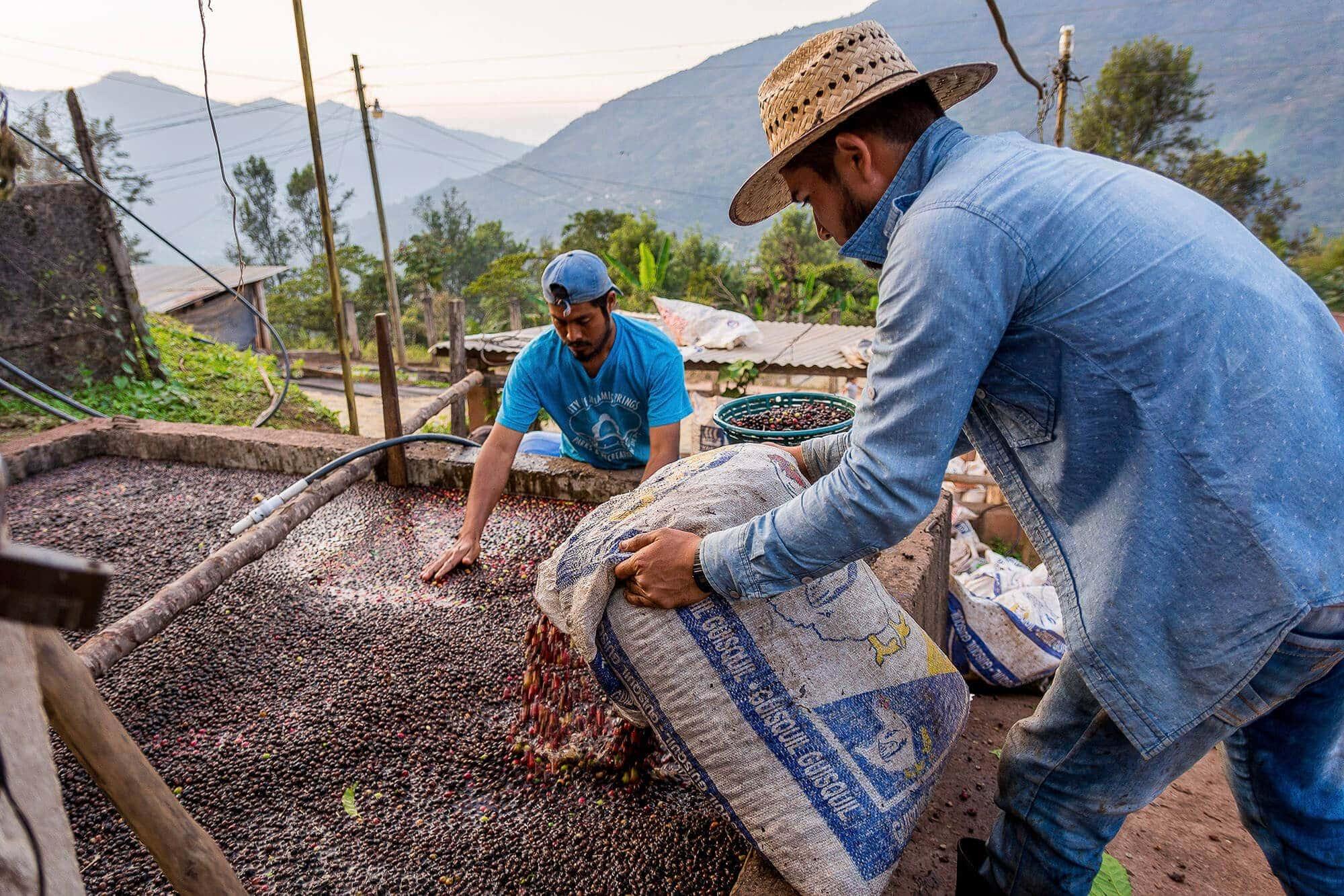 Risteribakker i kaffeplantagen fra Amokka