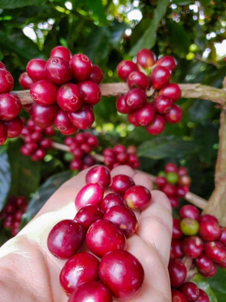 Kaffebønner fra Amokka